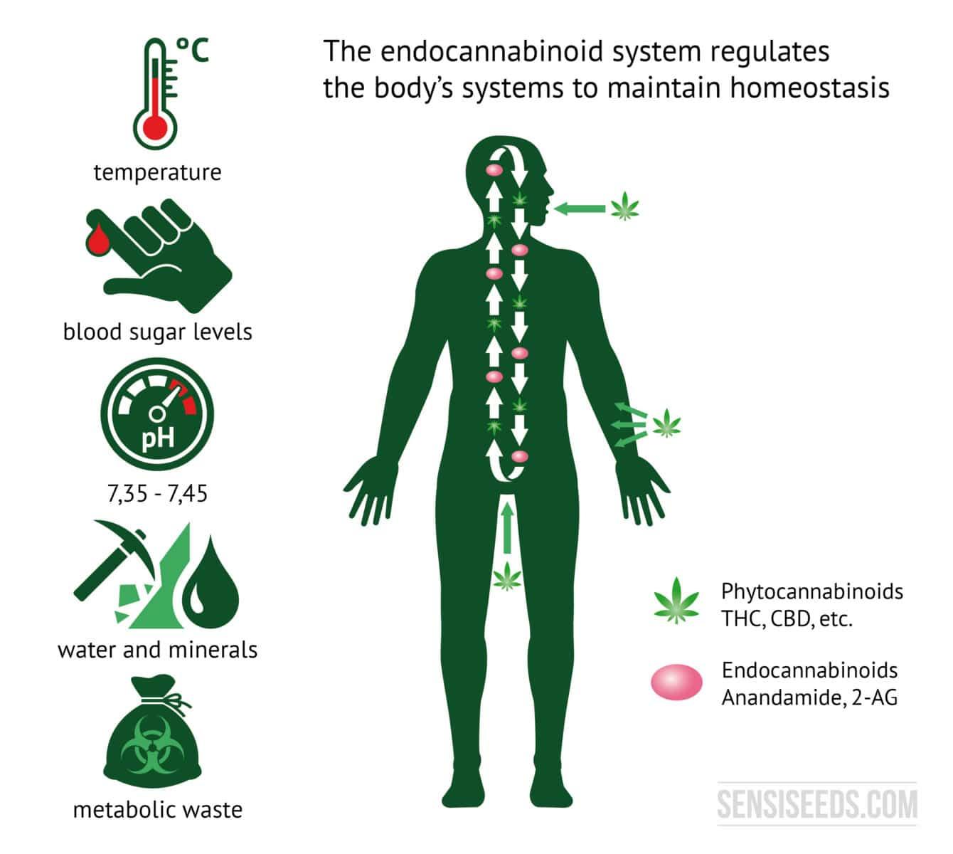 endokanabinoidni sustav čovjeka