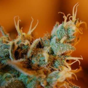 Što su trihomi i zašto su toliko važni za uzgoj konoplje?